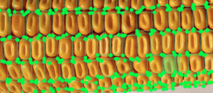 Corn Object Detection